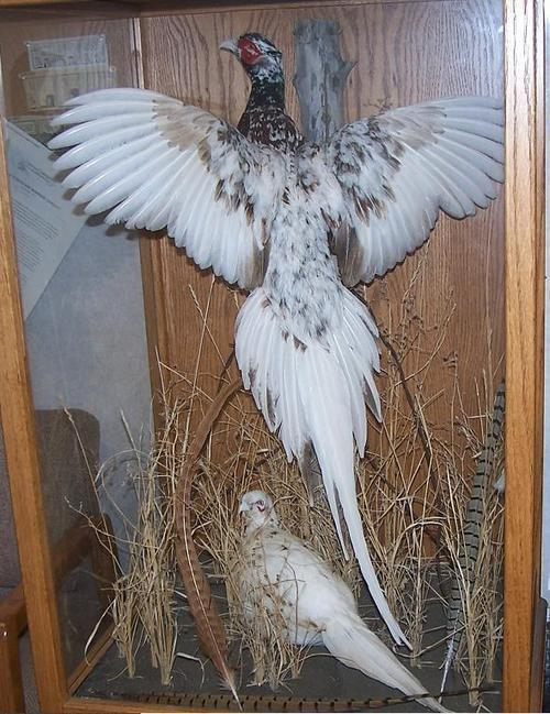 "An albino pheasant display set up by a taxidermist. Often, Lane's seeking beauty in dead birds  through his poetry conjures up images of the taxidermist's trade. ""Albino Pheasants"" is a famous Lane poem that you can read in Witness."