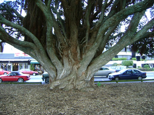 A tree along the shore in Auckland, New Zealand. Do you see the stag?