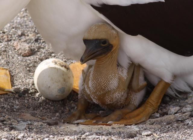 A masked booby chick. The product of a fairy tale? Yes, as it were.